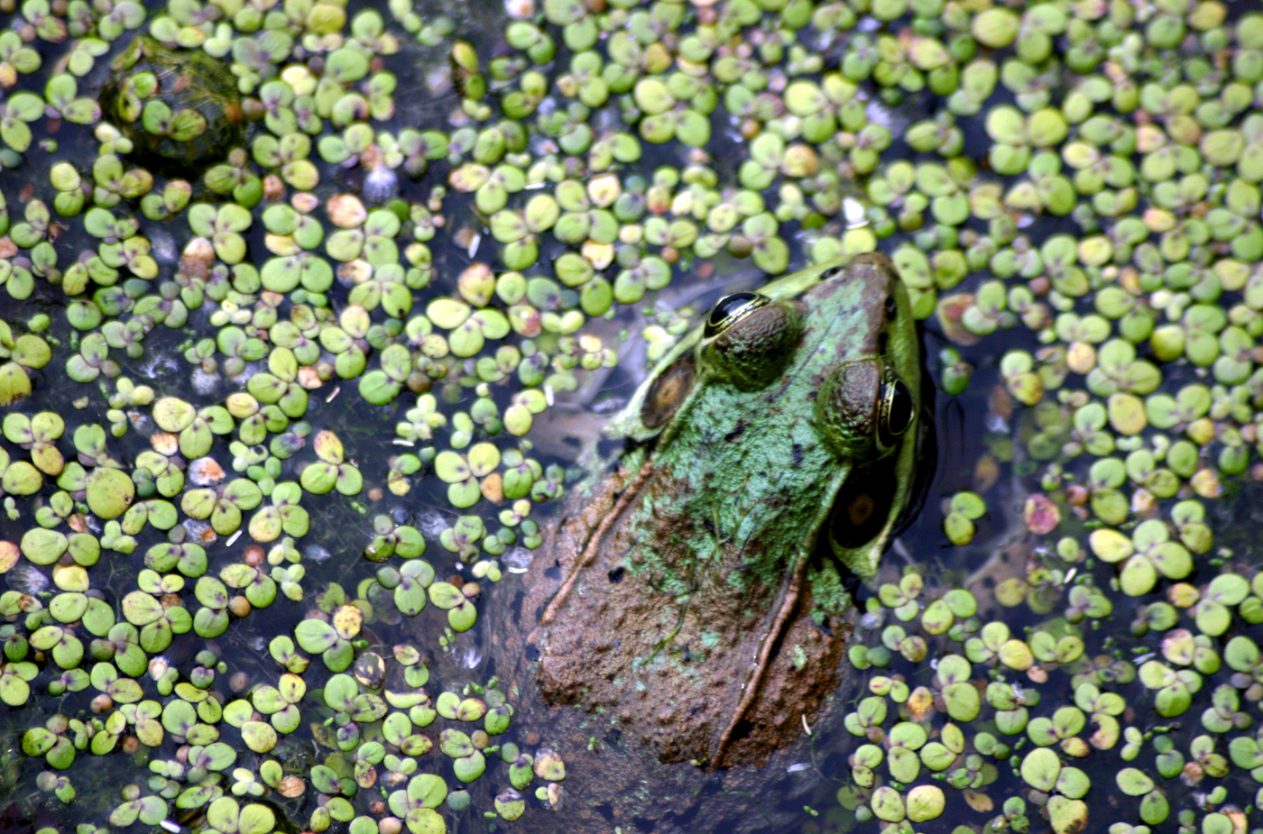Frog in pond: Macaulay sponsors the iNaturalist City Nature Challenge