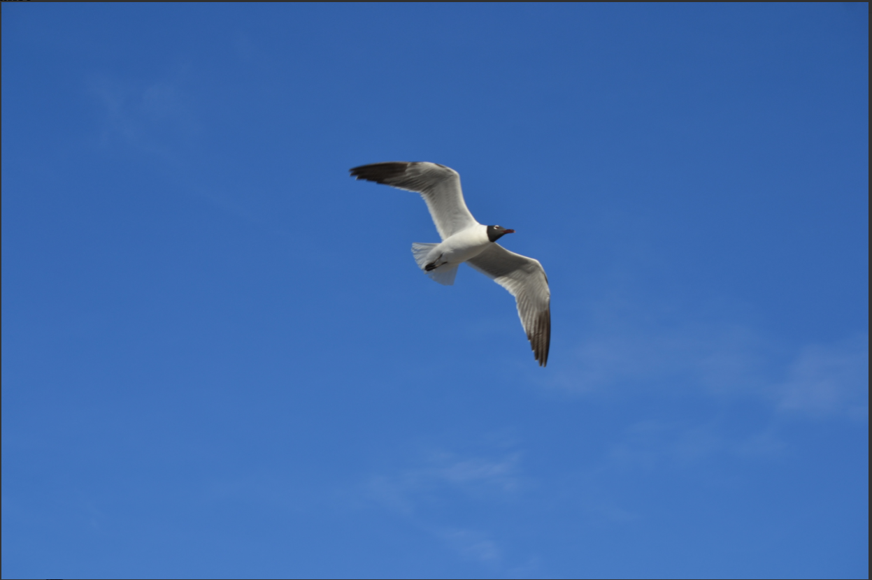 Photo of Laughing gull from an iNaturalist observation